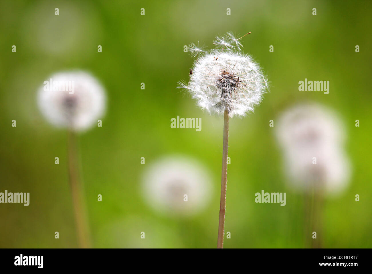 Macrophotography of white dandelion flowers Taraxacum officiale on green background - Stock Image