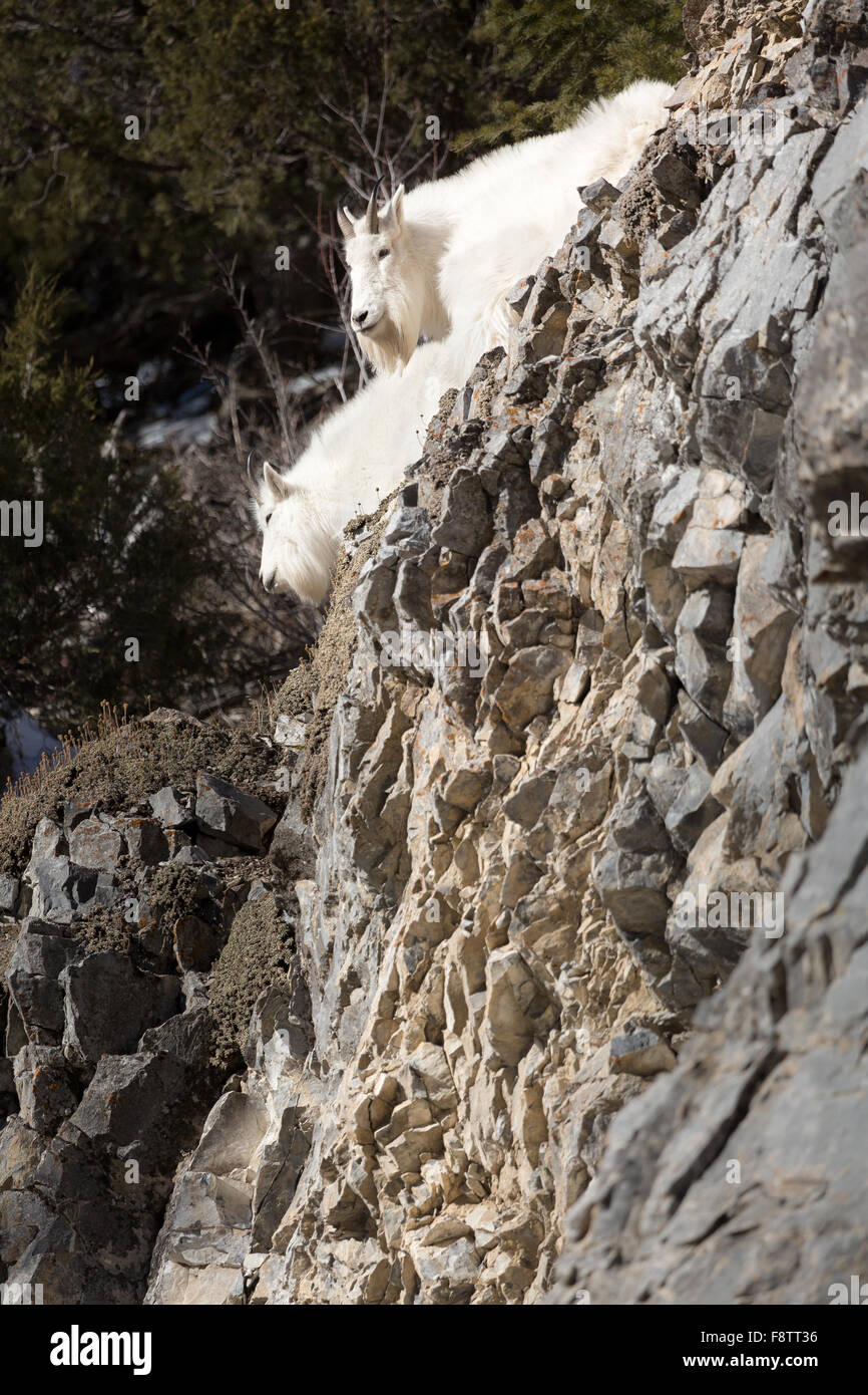 A mountain goat nanny stands over a cliff with her kid in the Bridger-Teton National Forest in Wyoming. - Stock Image
