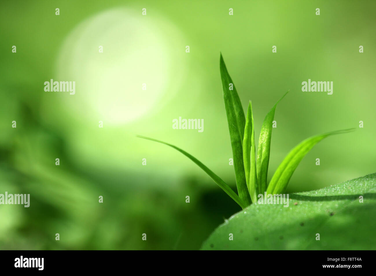 Macrophotography of single green plant on the green blurred background with yellow-white single bokeh - Stock Image