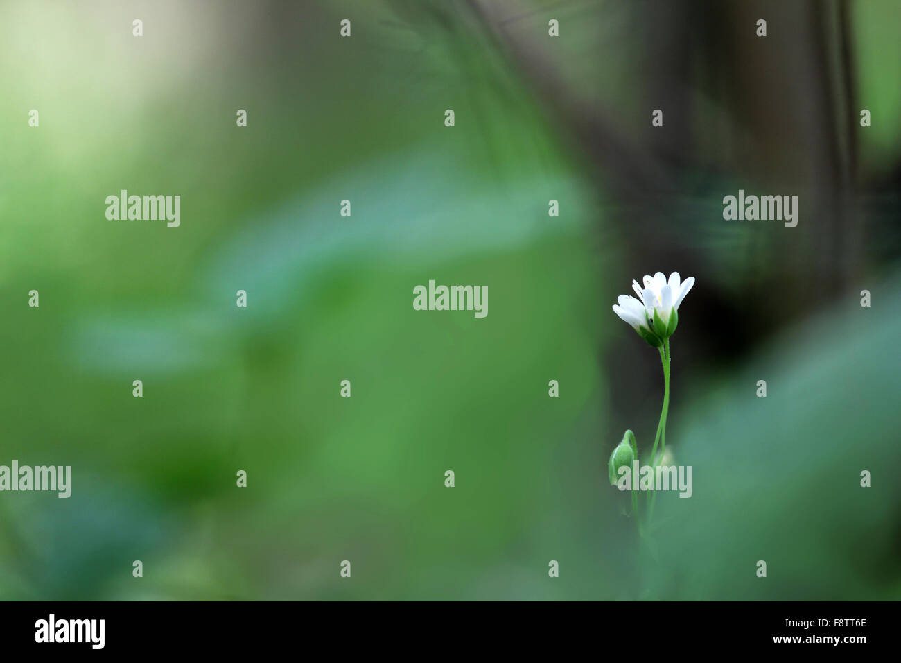 Macrophotography of single green-white flower on the green and brown blurred background - Stock Image
