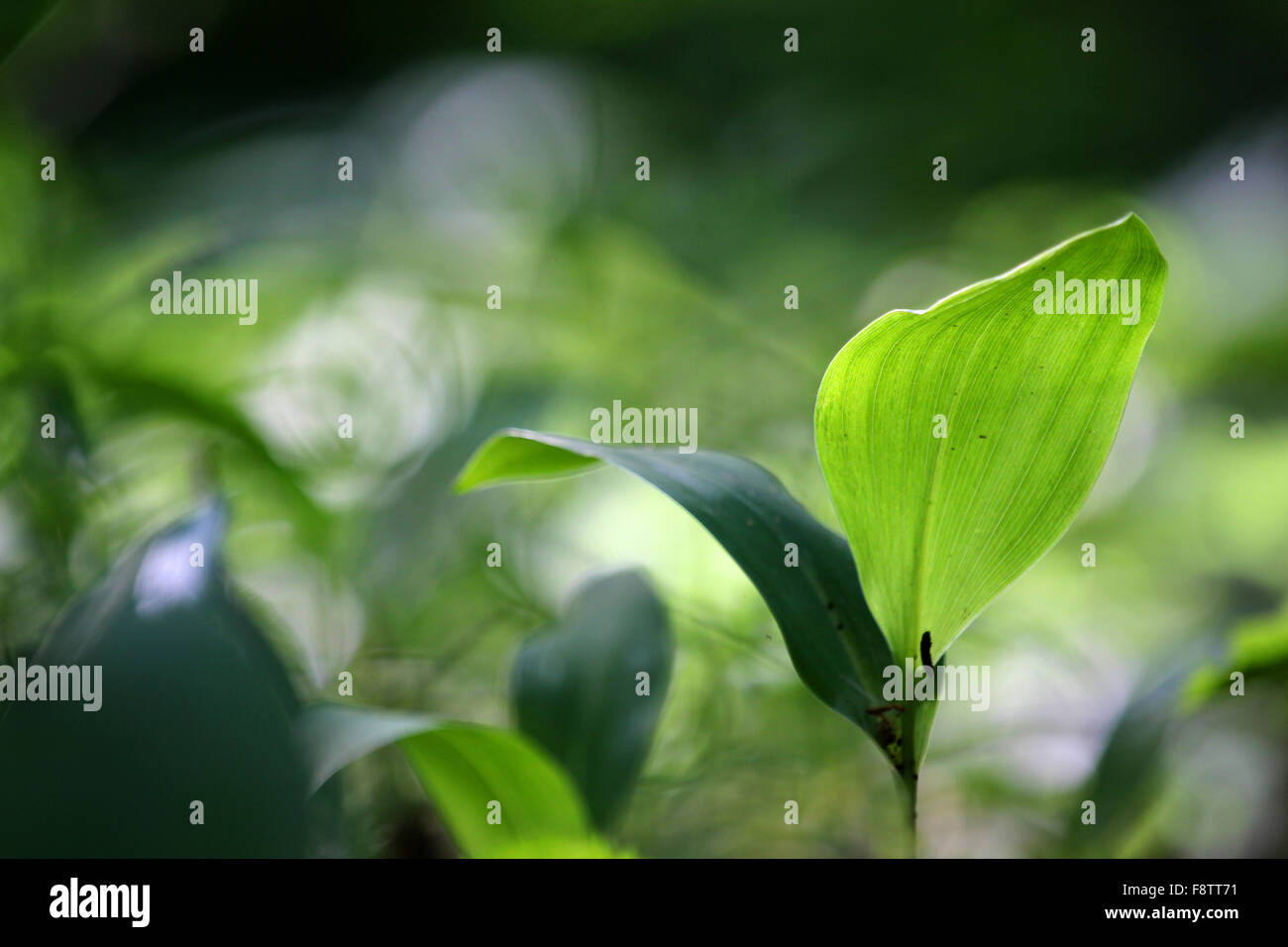 Macrophotography of single green plant on the green and dark green blurred background with yellow-white multiple - Stock Image