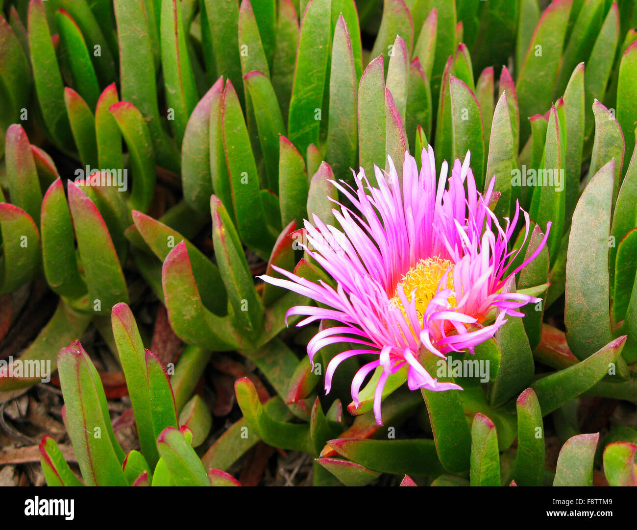 Pink Yellow Colored Flower Of Green Succulent Plant Growing On The
