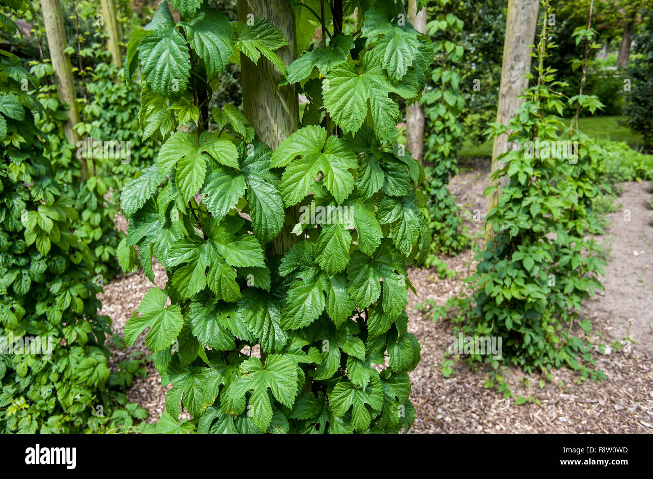 Common Hop (Humulus lupulus) bines / vines growing upwards along wires - Stock Image