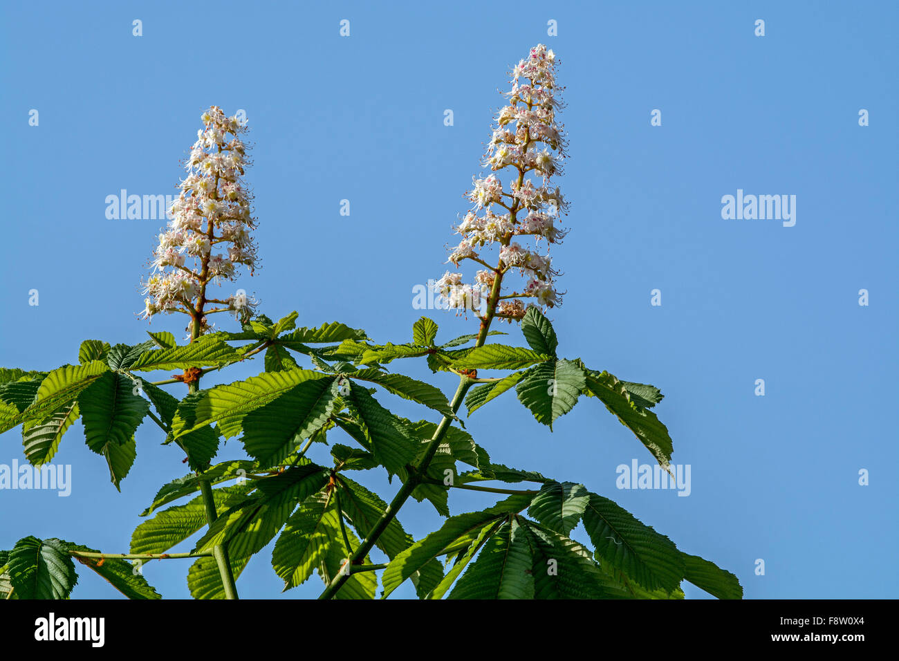 Foliage and flowers of horse-chestnut / conker tree (Aesculus hippocastanum) in spring - Stock Image