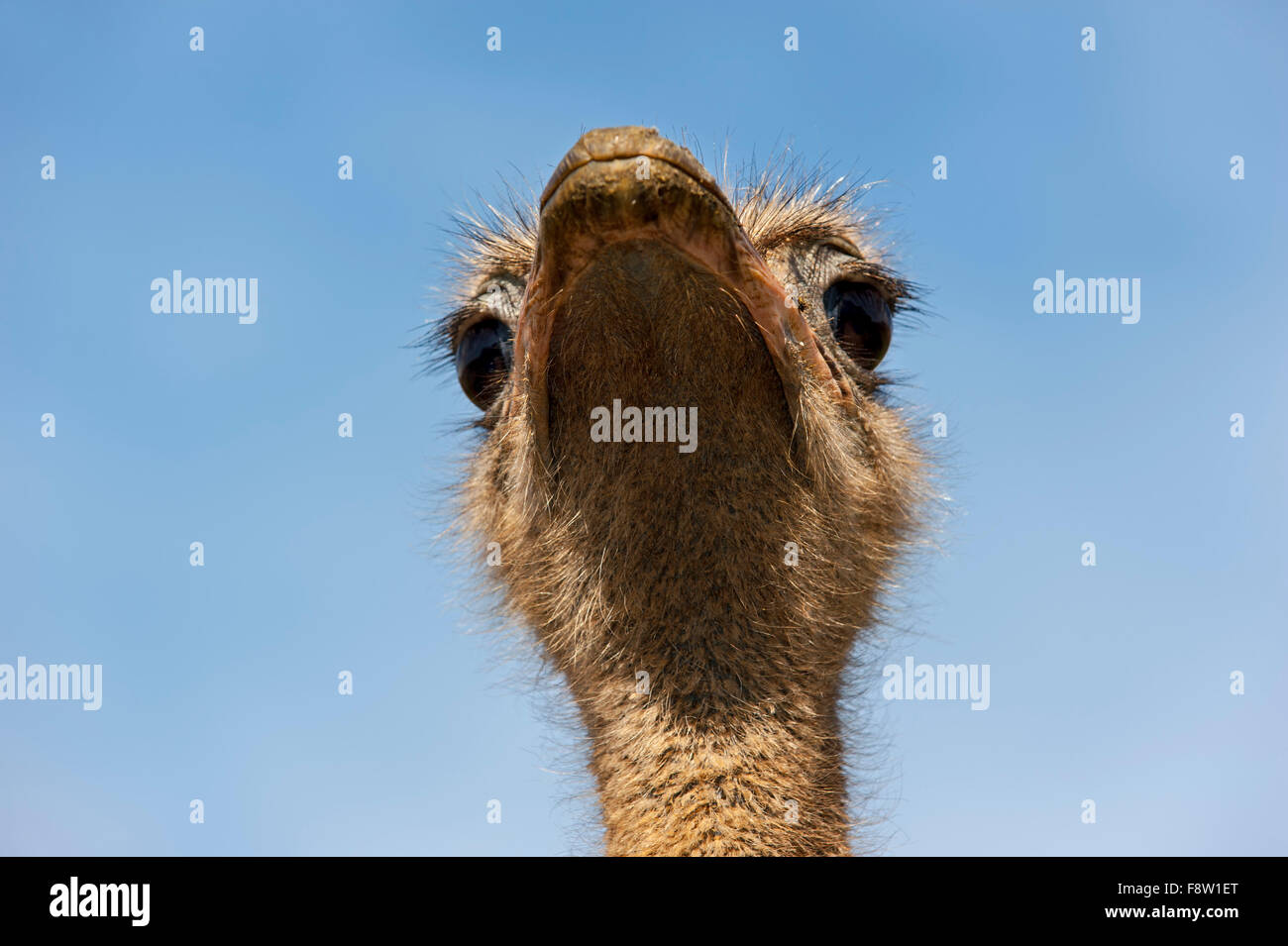 Common ostrich (Struthio camelus) close up of head against blue sky - Stock Image