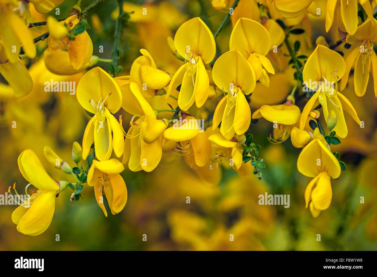 Common broom / Scotch broom / Scot's broom / English broom (Cytisus scoparius / Sarothamnus scoparius) in flower - Stock Image