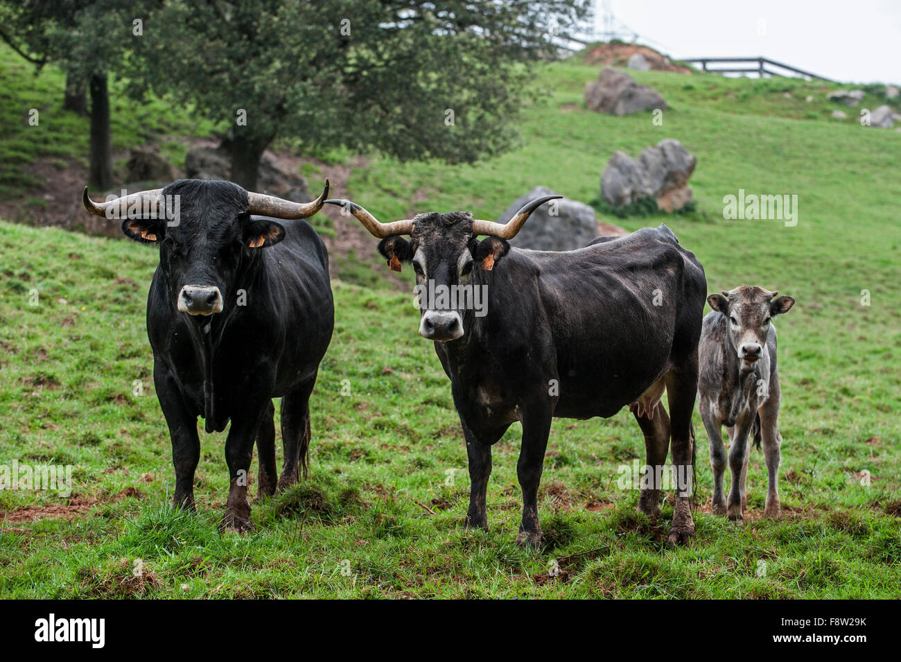 Tudanca bull, cow and calf, primitive breed of cattle from Cantabria, Spain - Stock Image