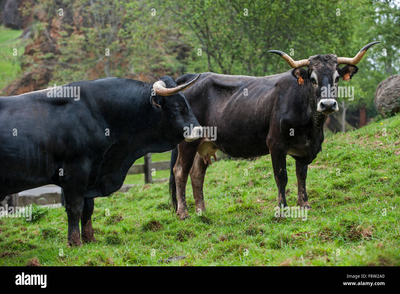 Tudanca bull and cow, primitive breed of cattle from Cantabria, Spain - Stock Image