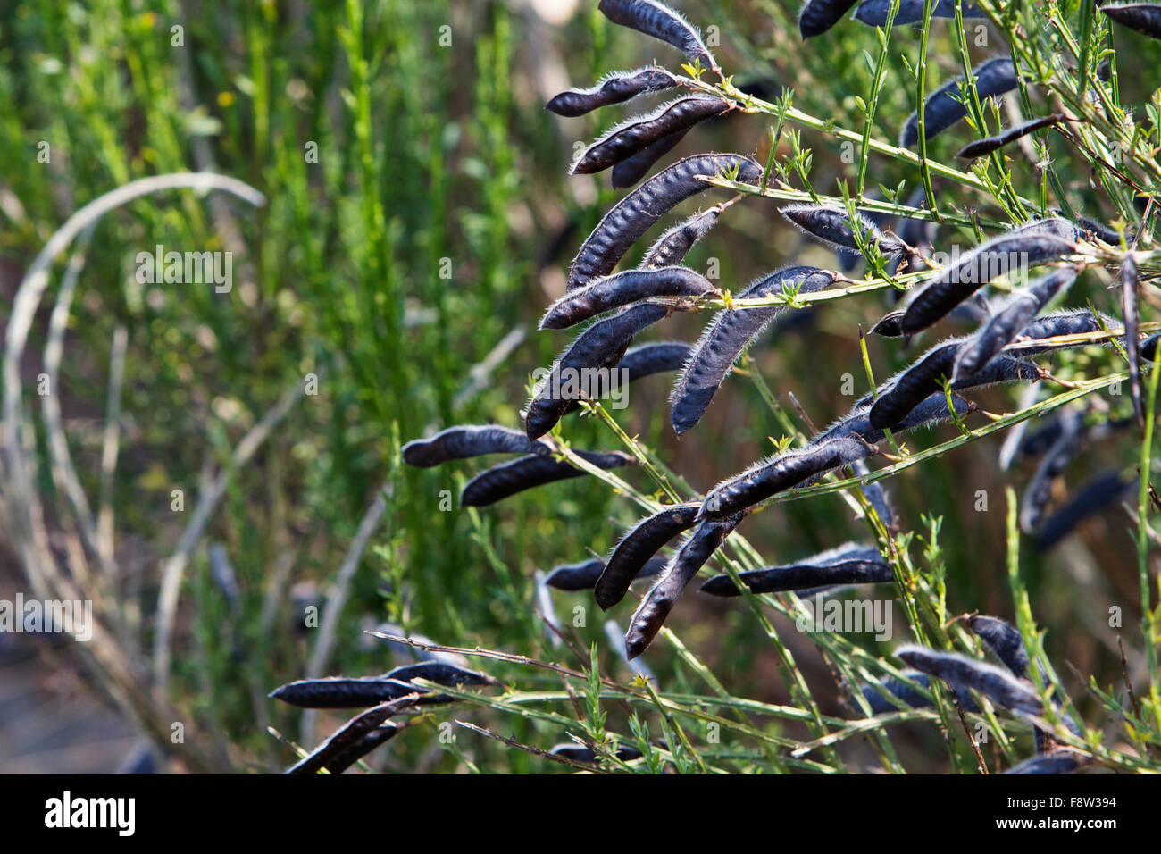 Fuzzy Bean Stock Photos Images Alamy Spring Wiring Lupine Black Seed Pods Image
