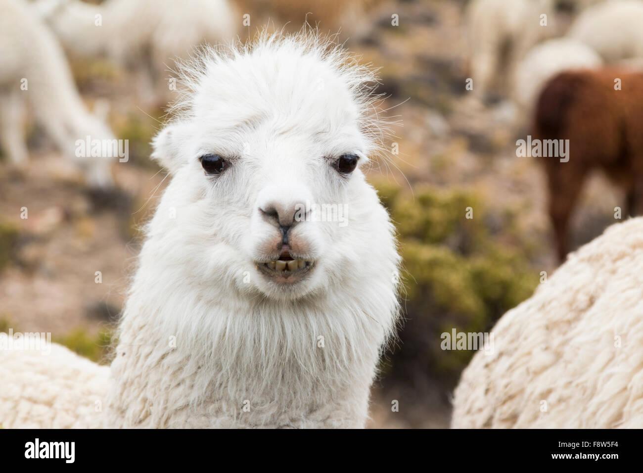 Close-up of an alpaca - Stock Image