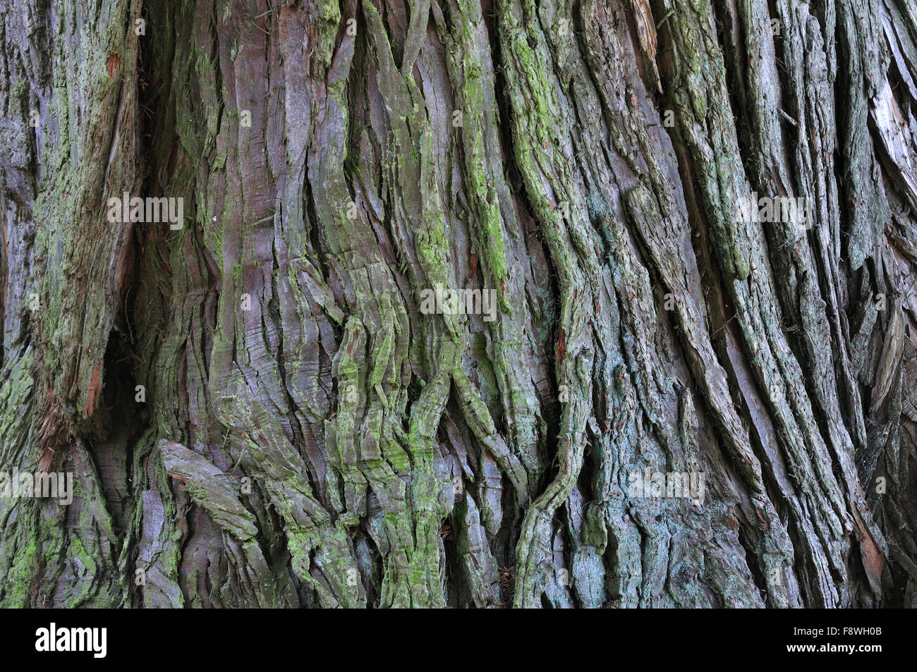 sweet chestnut bark - Stock Image