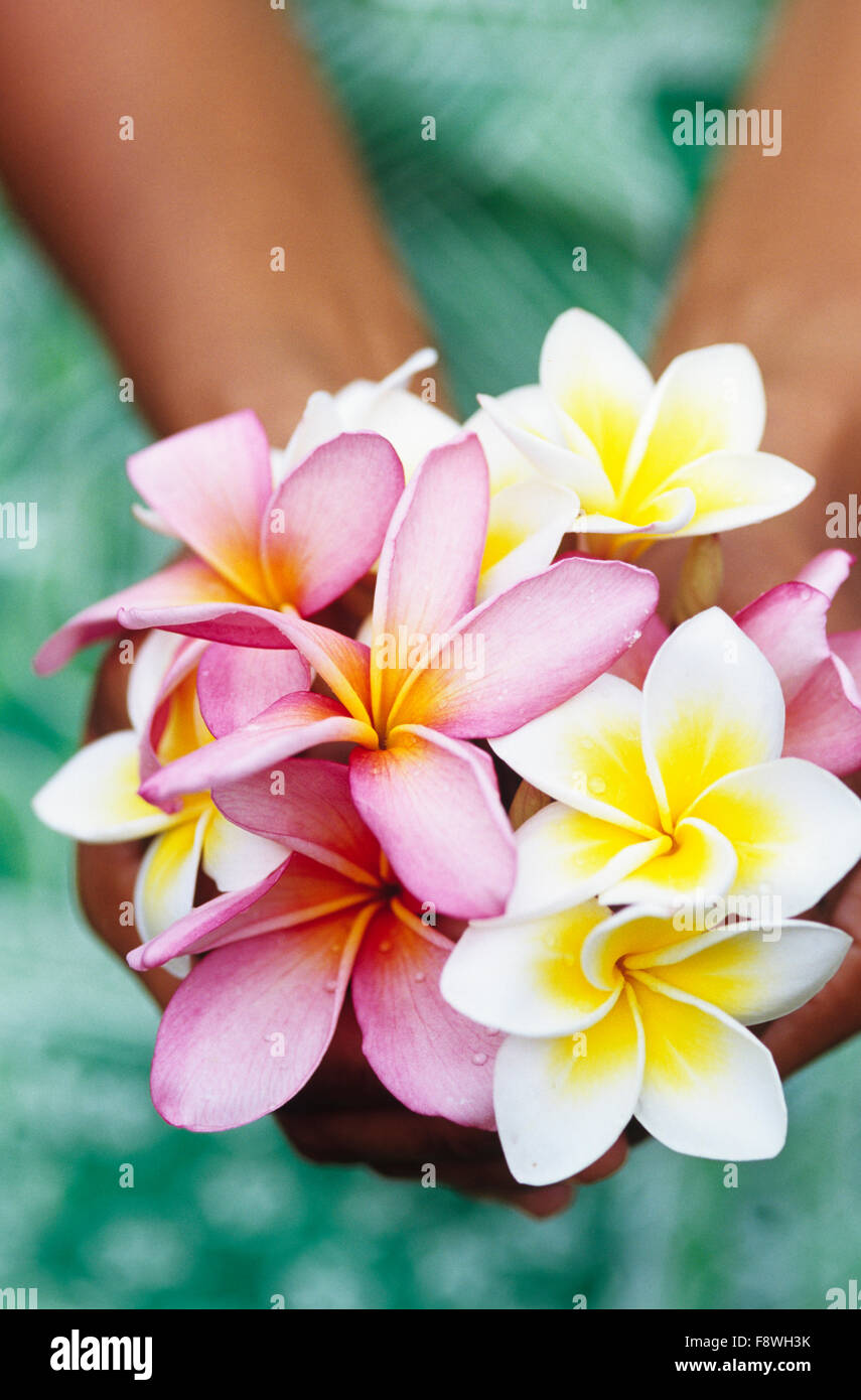 Fiji Islands, botanical, frangiapani blossom, plumeria.  Female Fijian woman holding freshly picked Plumeria blossoms. - Stock Image