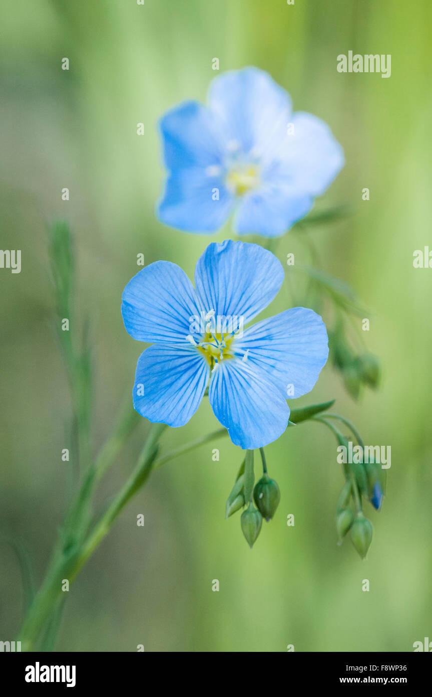 Wild blue flax, Linum usitatissimum - Stock Image