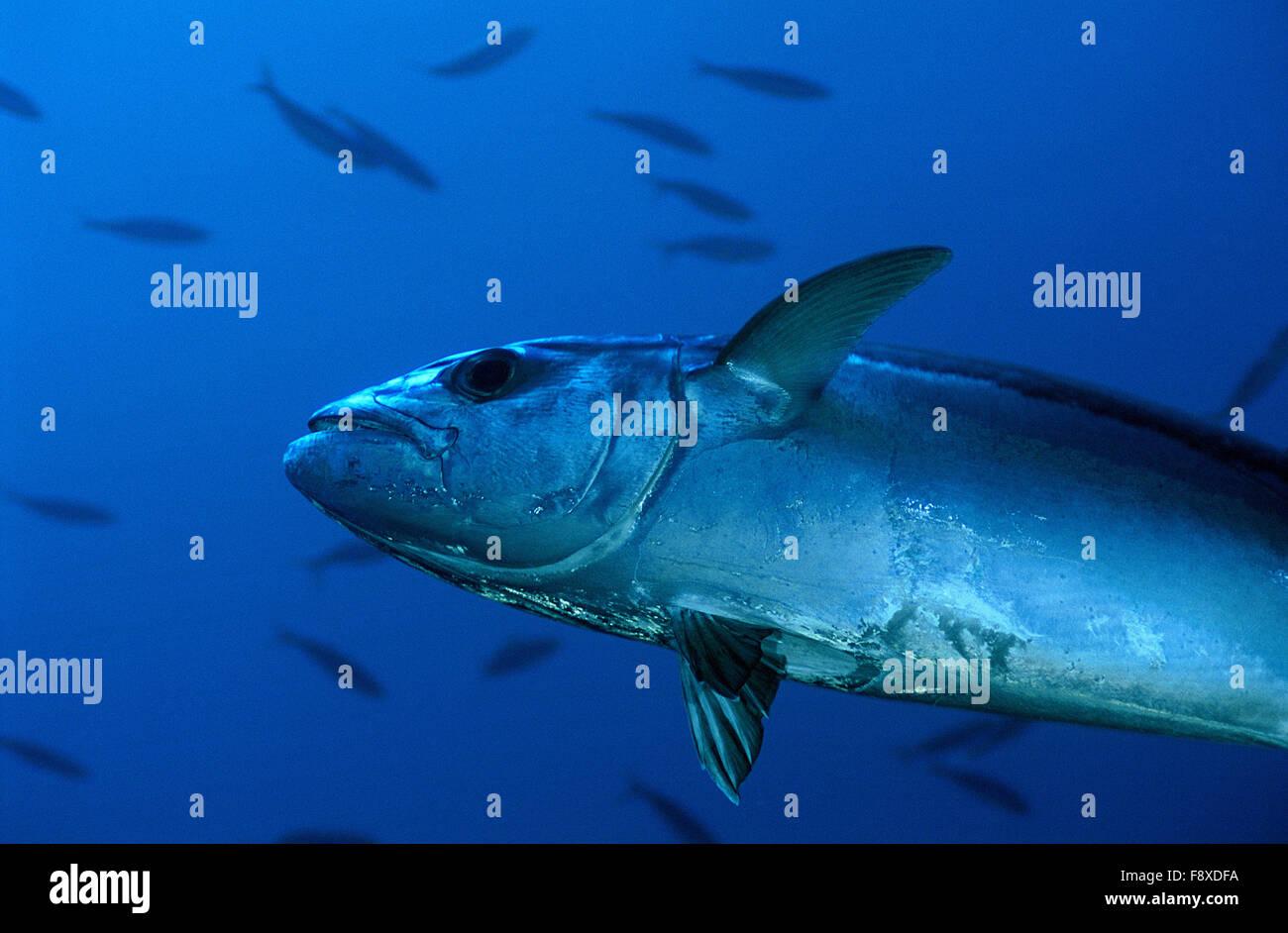 Dog-Toothed Tuna, Christmas Island, Republic of Kiribati - Stock Image