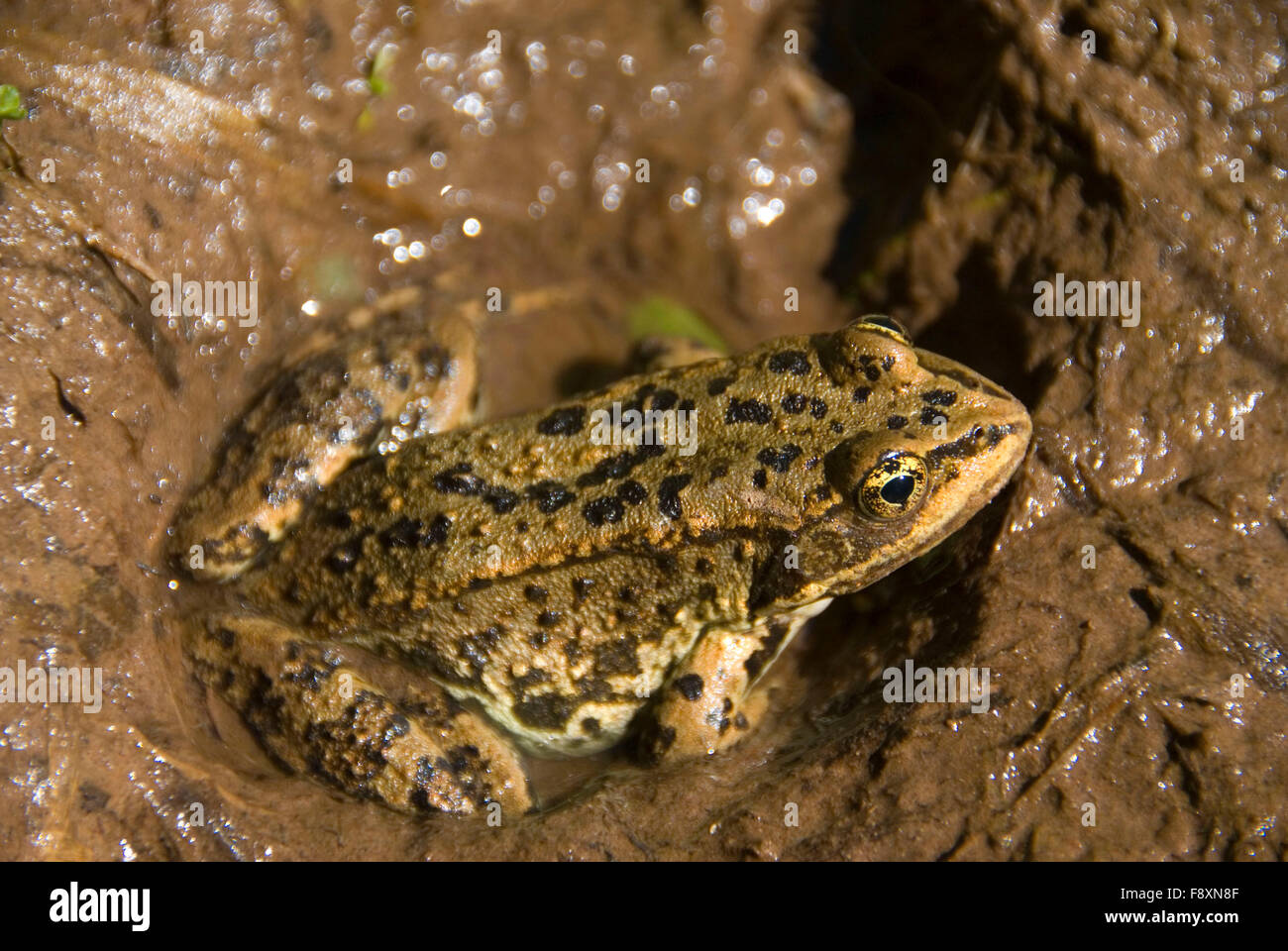 Frog, Flathead National Forest, Montana Stock Photo
