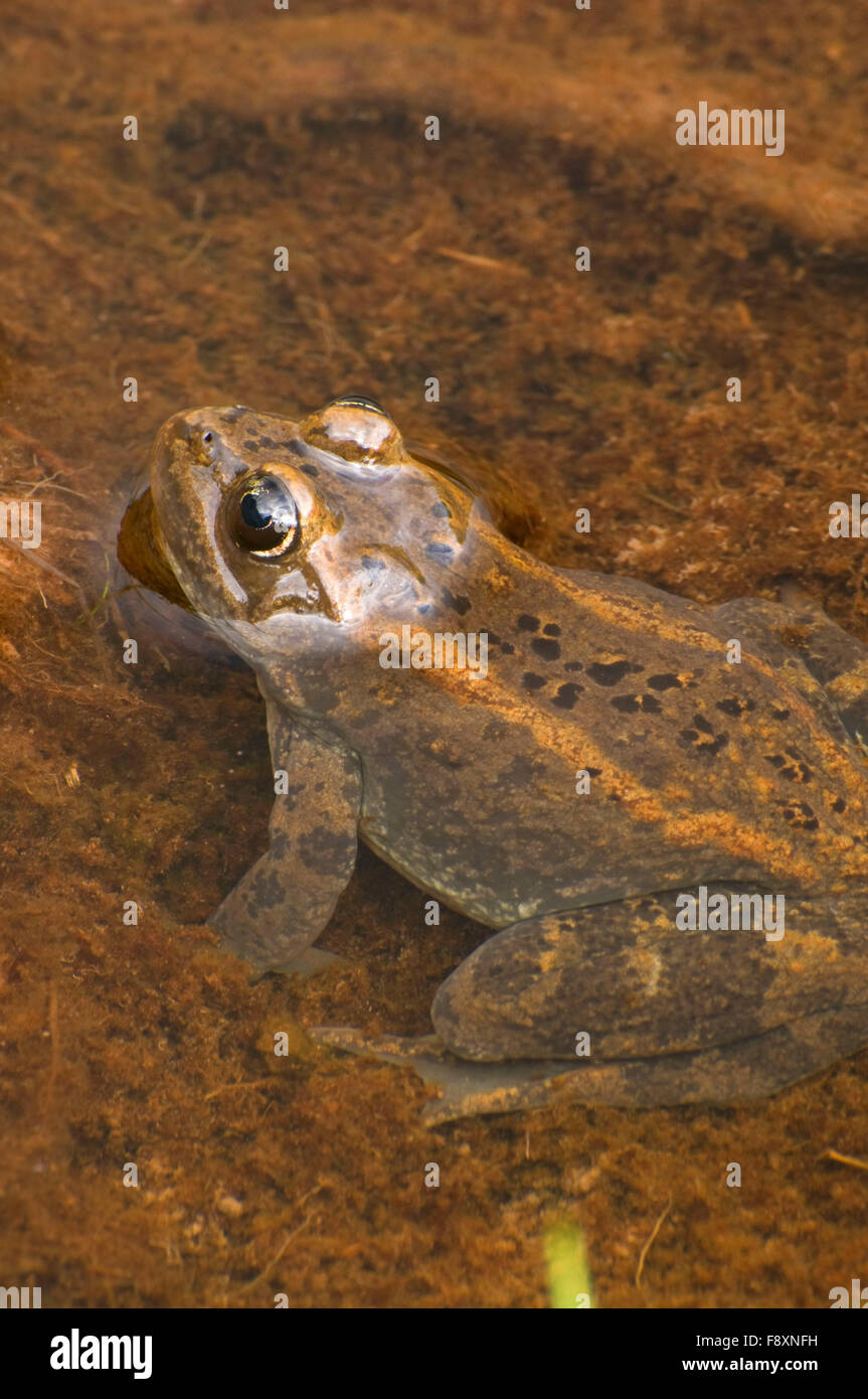 Frog at Schafer Meadow, Middle Fork Flathead Wild and Scenic River, Great Bear Wilderness, Flathead National Forest, Stock Photo