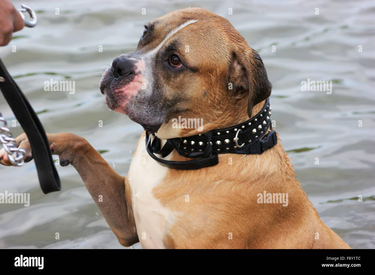 mastiff in water - Stock Image