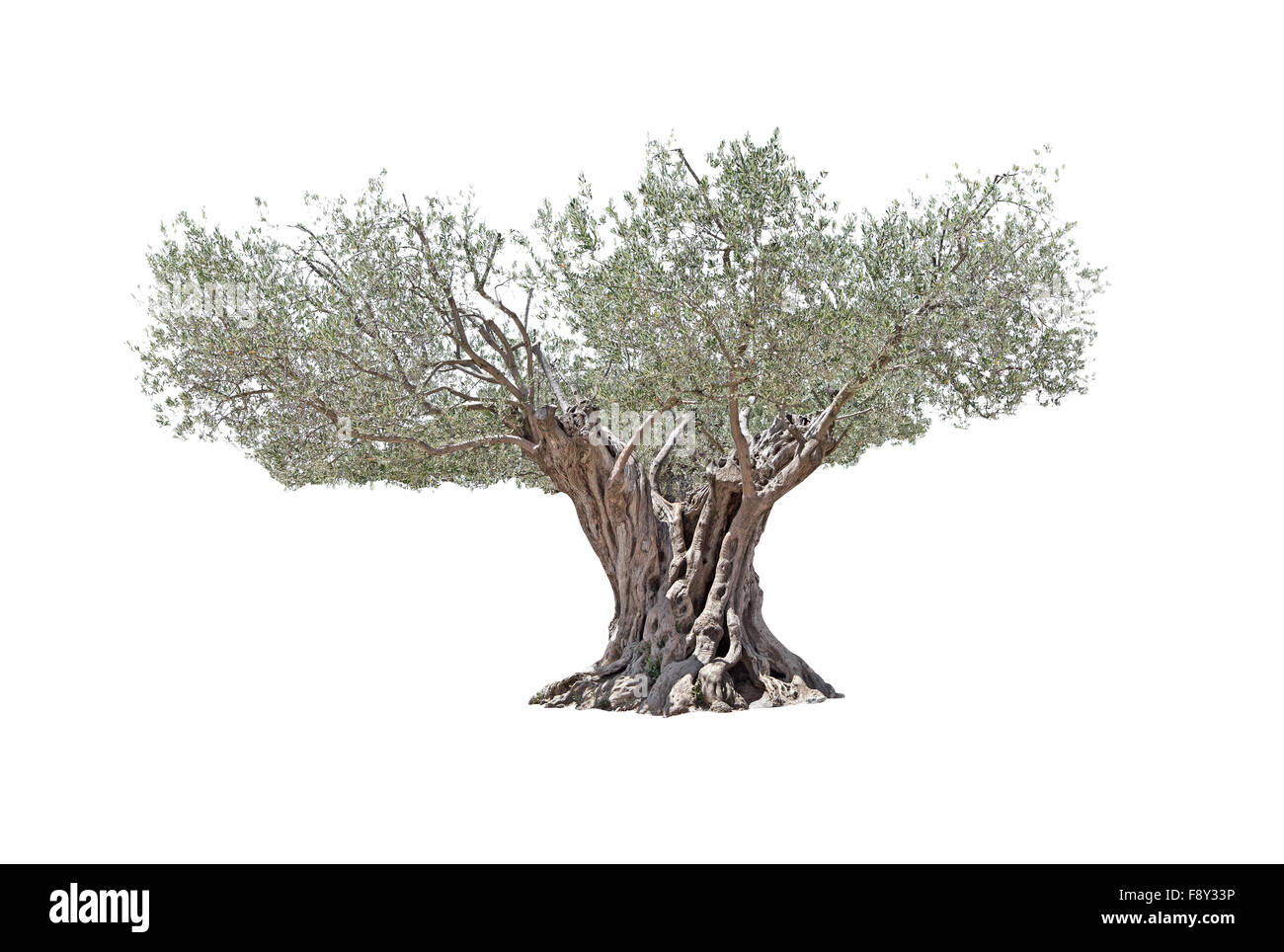Secular Olive Tree with large and textured trunk on white background. - Stock Image