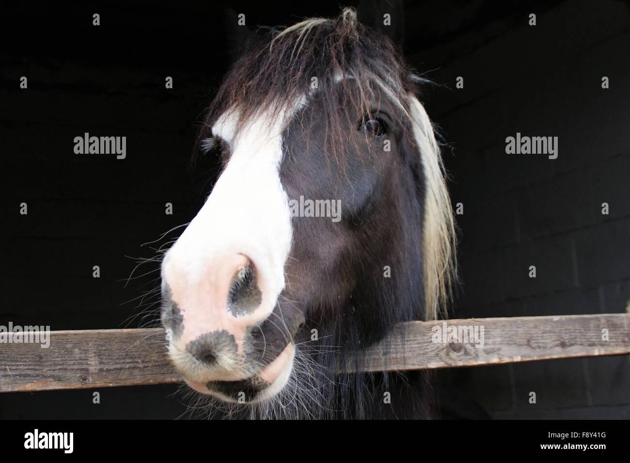 closeup cob horse - Stock Image
