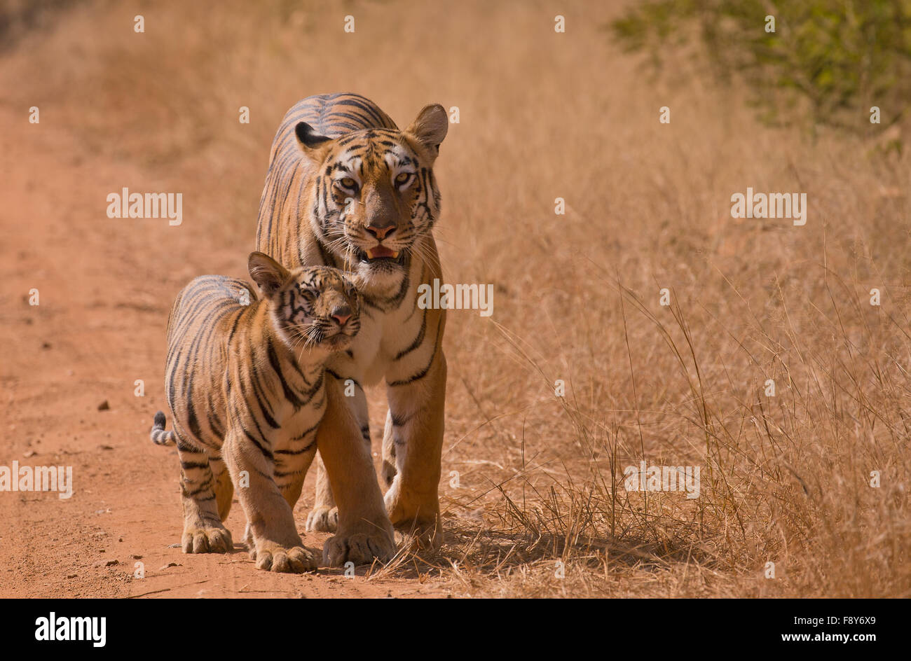 A bengal tiger with cubs in Tadoba Andhari Tiger Reserve - Stock Image