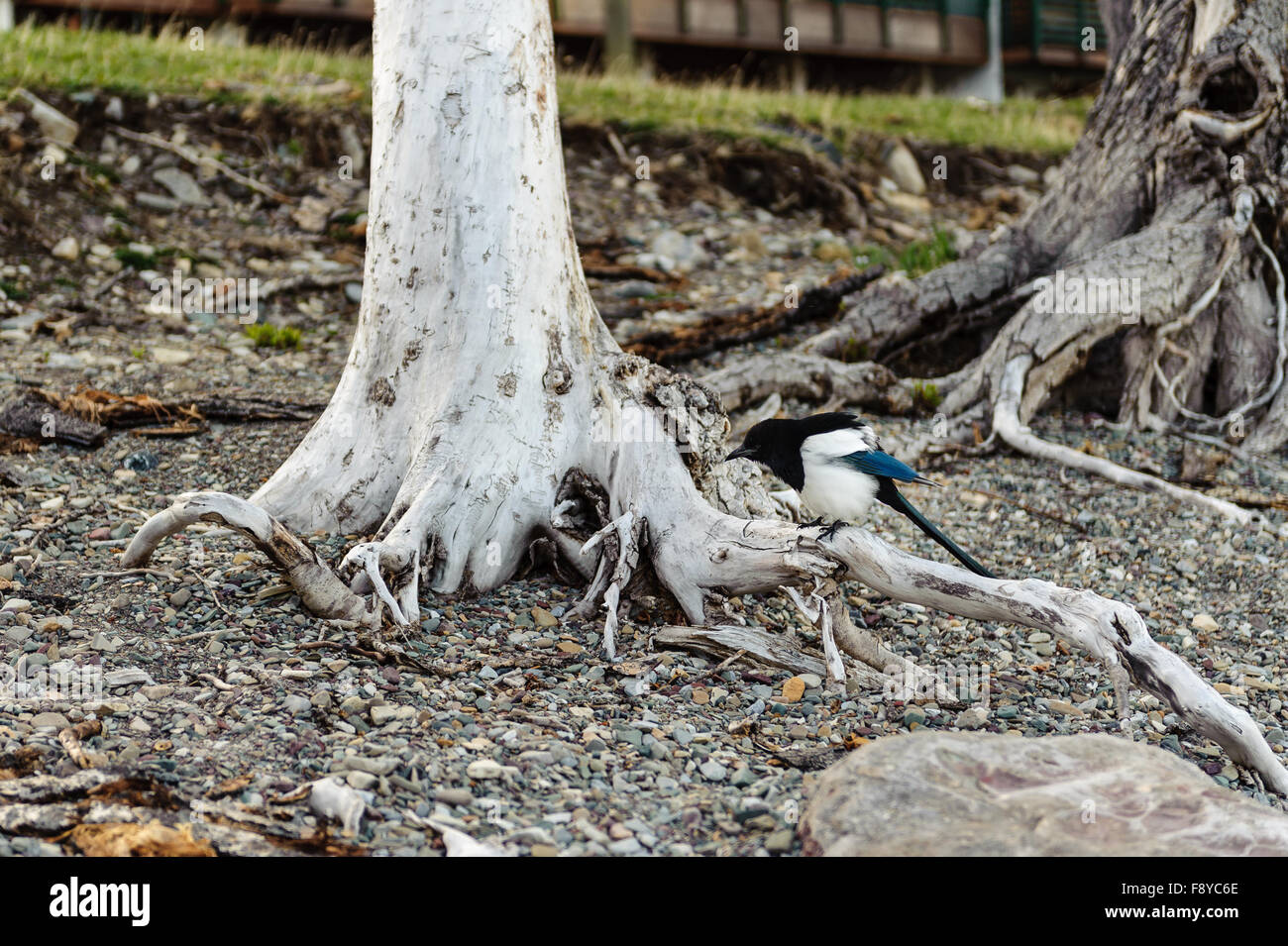 Black-billed Magpie, latin name (Pica hudsonia) on a white tree trunk, Alberta,Canada - Stock Image