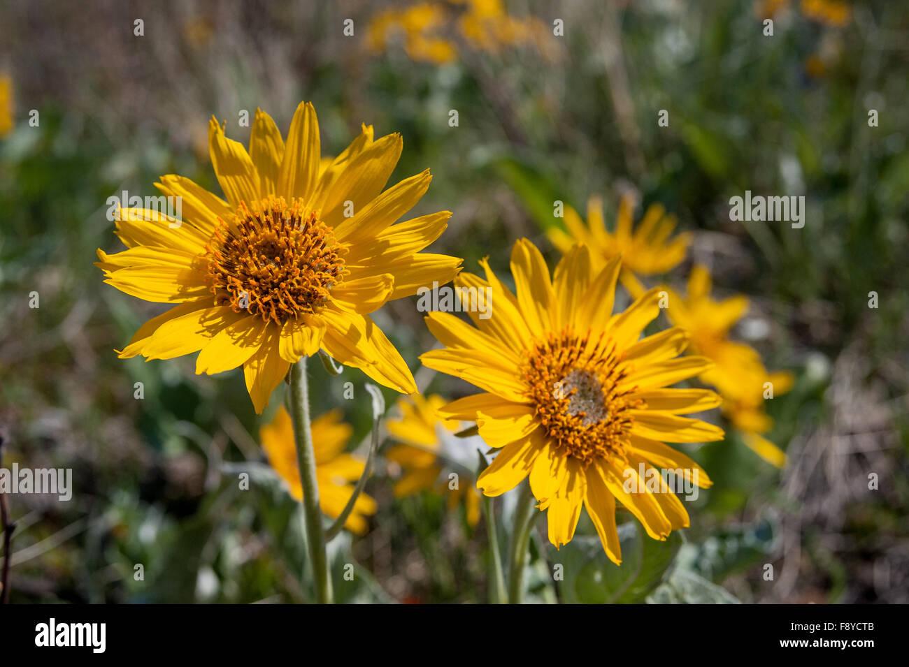Balsamroot flowers, latin name (Balsamorhiza deltoidea) close view in the Waterton  Lakes National Park, Alberta, Stock Photo