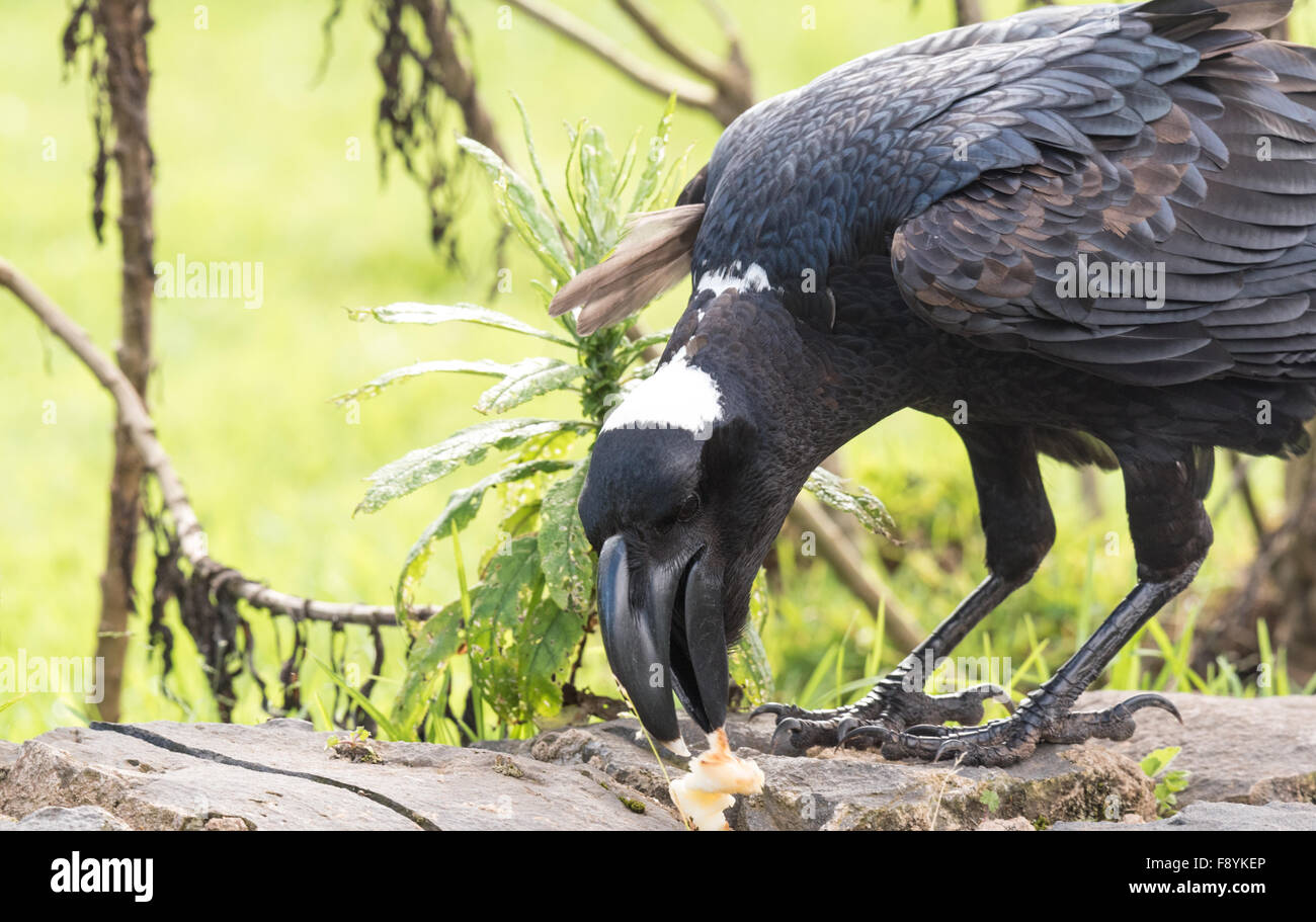 A close up shot of a Thick-billed raven, an Ethiopian endemic bird eating. - Stock Image