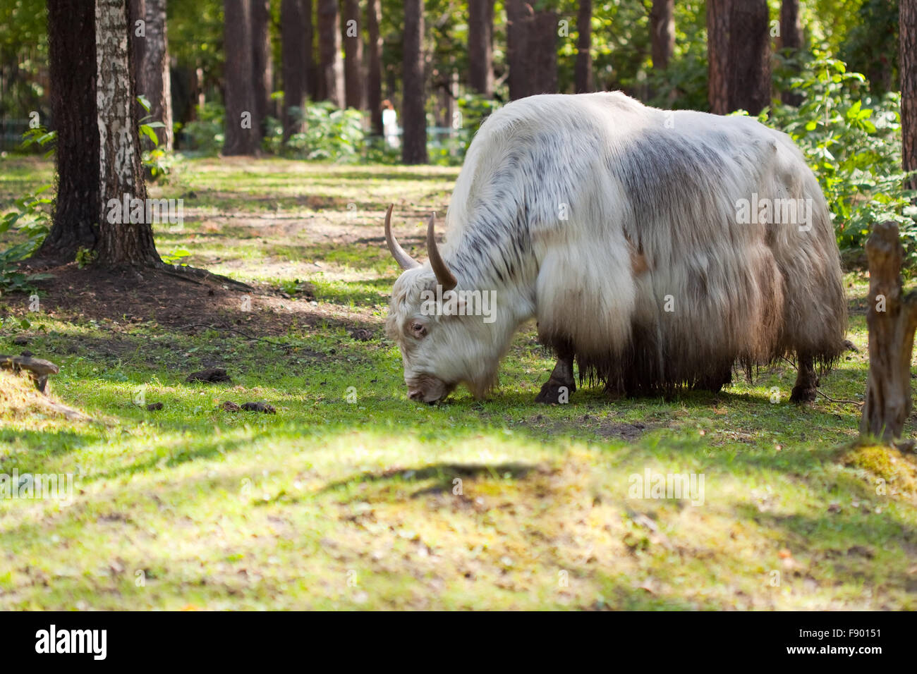 grunting ox against nature background - Stock Image