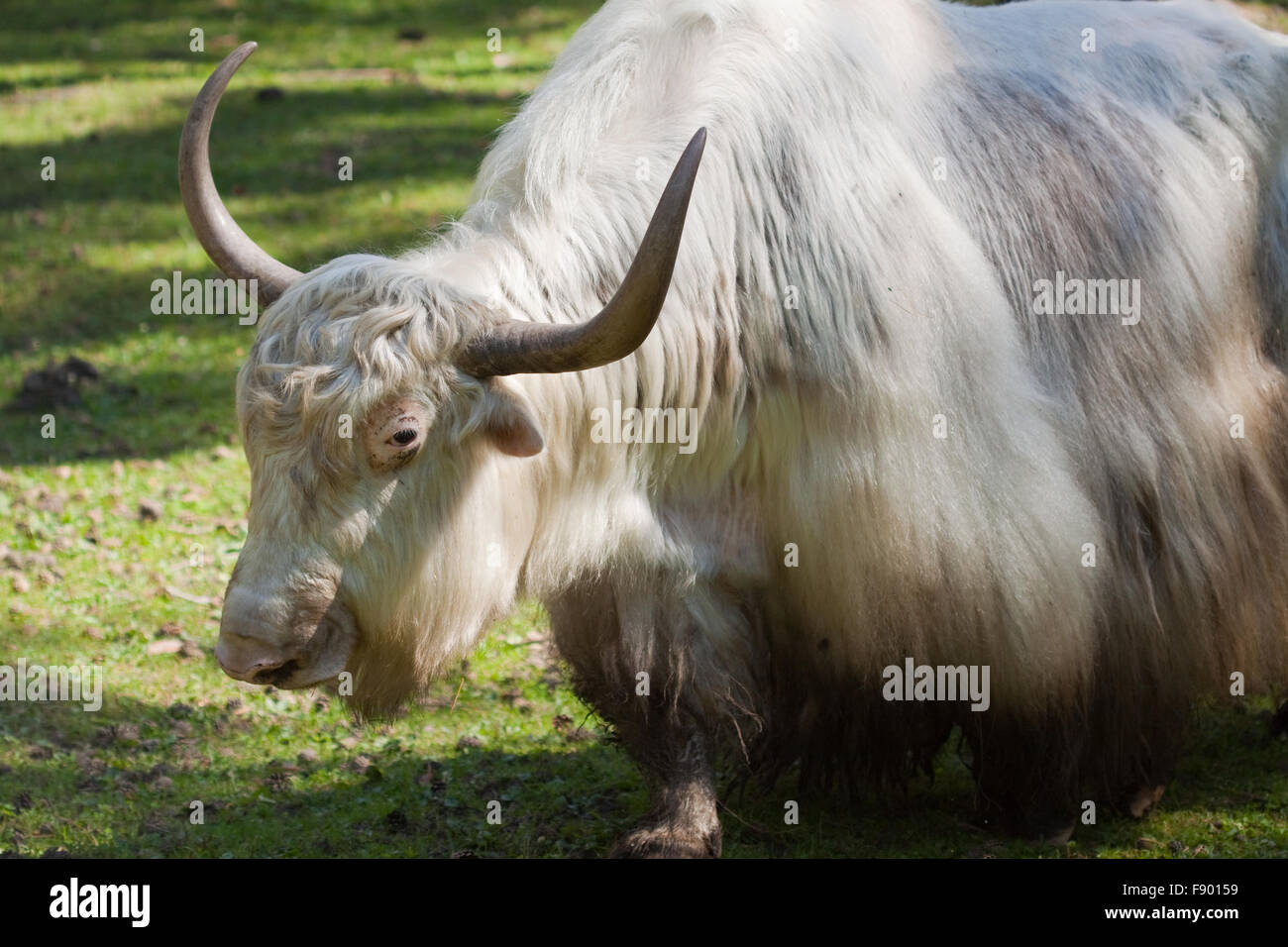 Close up of grunting ox against nature background - Stock Image