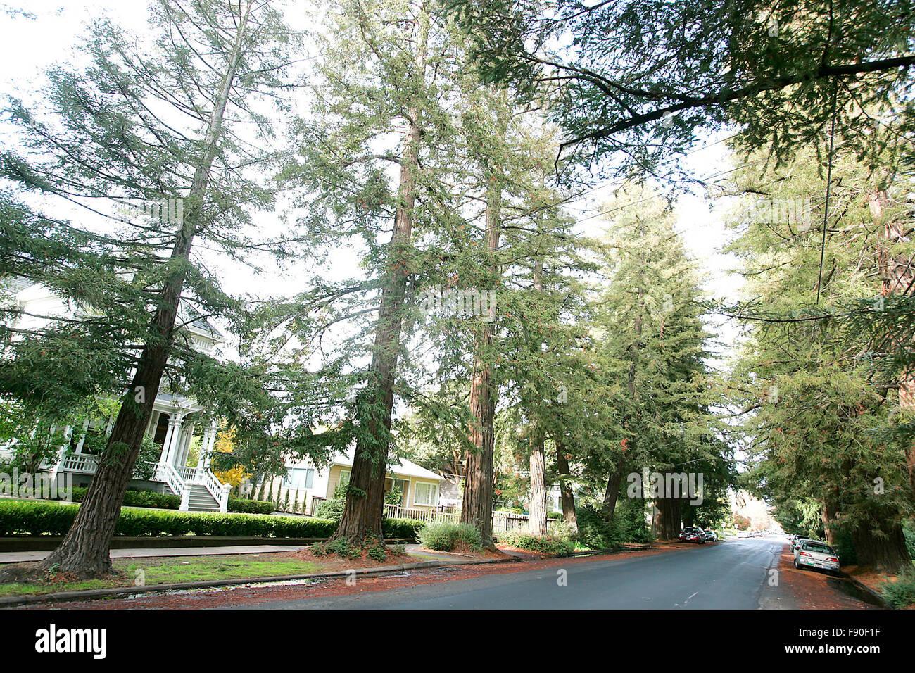Napa, CA, USA. 7th Dec, 2015. Redwood trees line Franklin Street in the Napa Abajo-Fuller Park Historic District, - Stock Image