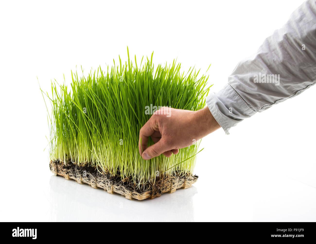 Man Picks Homegrown Wheatgrass on a white background - Stock Image