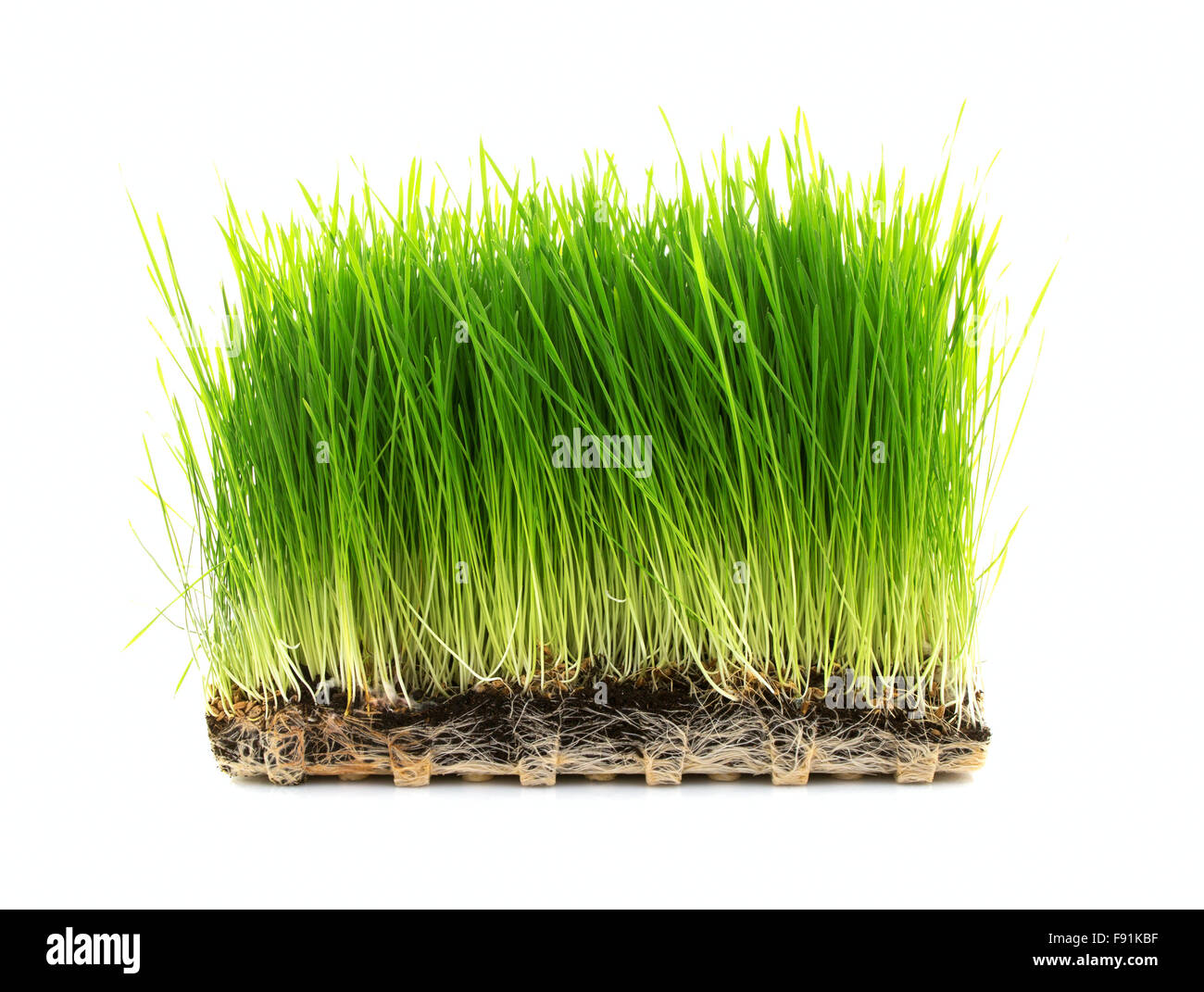 Nutritious Tray Of Homegrown Wheatgrass on a White Background - Stock Image