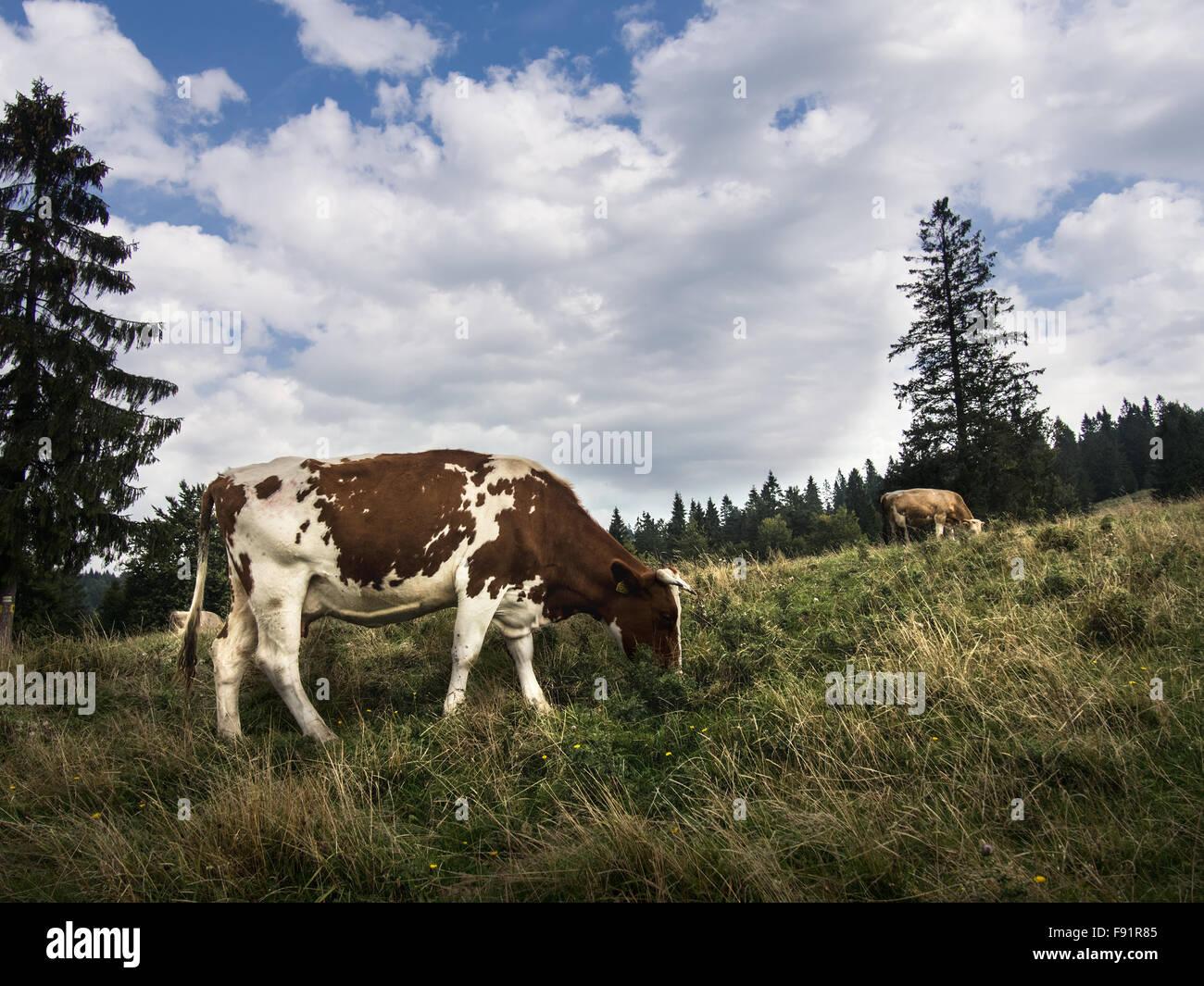 Grazing Cow in Pieniny mountains. Autumn. Stock Photo