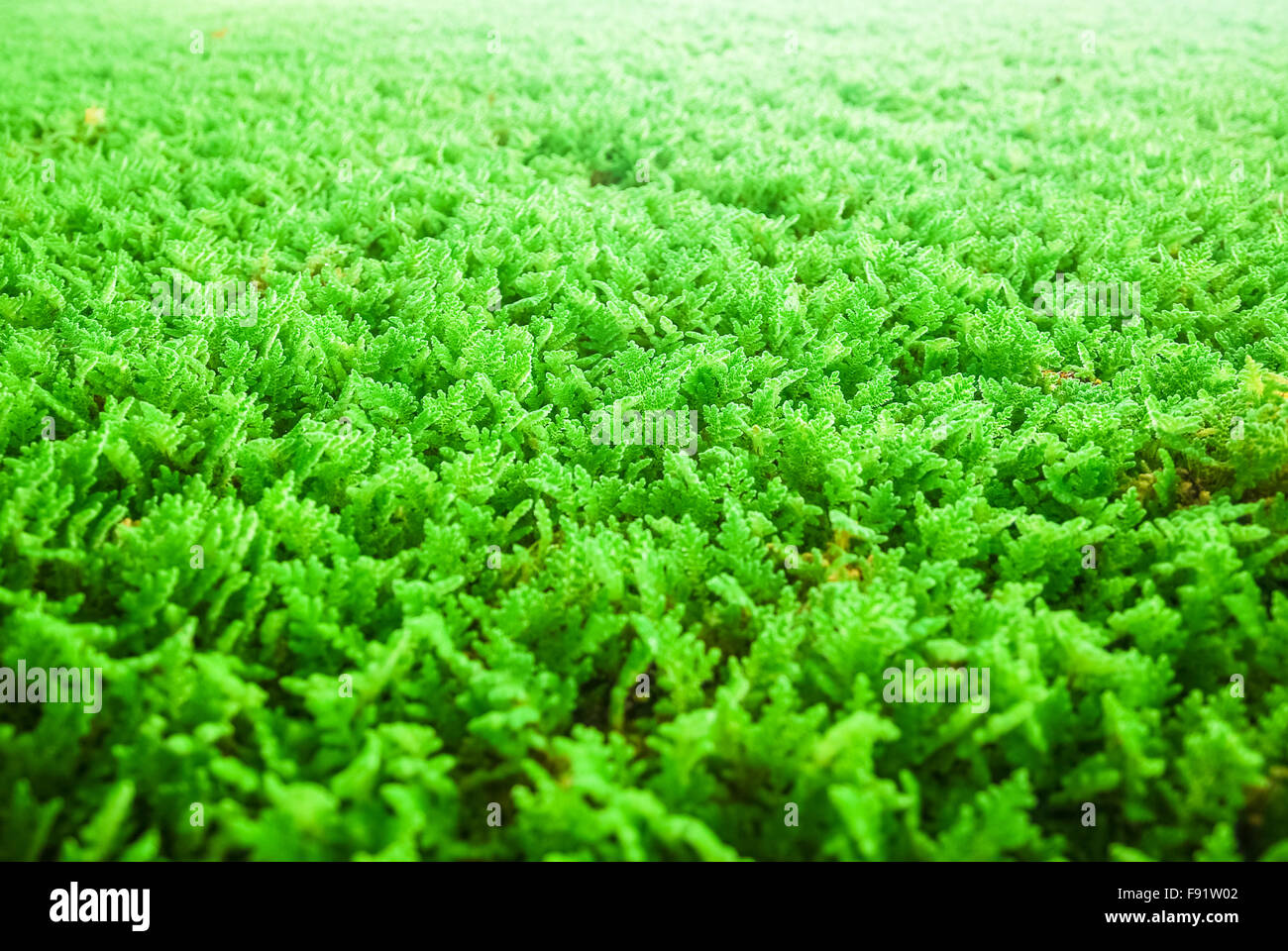 Algae used for water purification - Stock Image