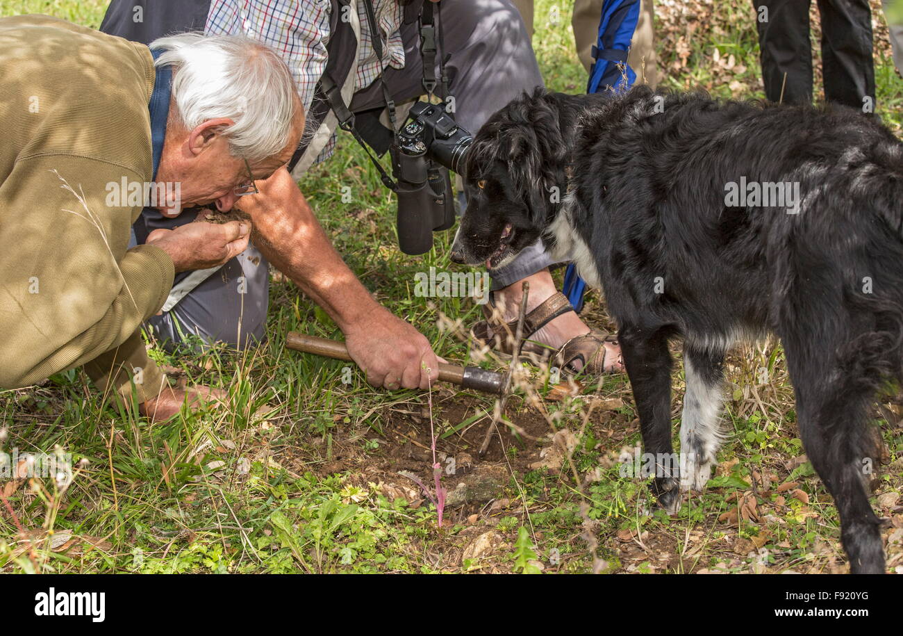 Looking for truffles, using a collie as truffle-hound, at the Truffle farm at Pechalifour, Dordogne. Stock Photo