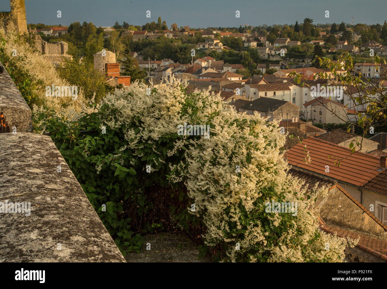 Russian-vine, Fallopia baldschuanica, in full flower at Chauvigny, Vienne, France - Stock Image