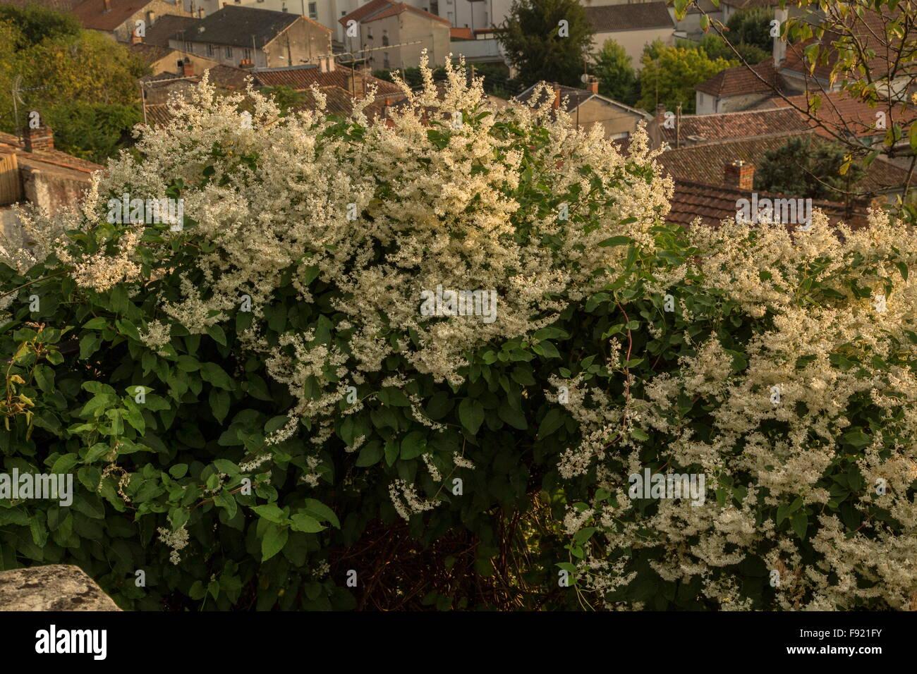 Russian-vine, Fallopia baldschuanica, in full flower. - Stock Image