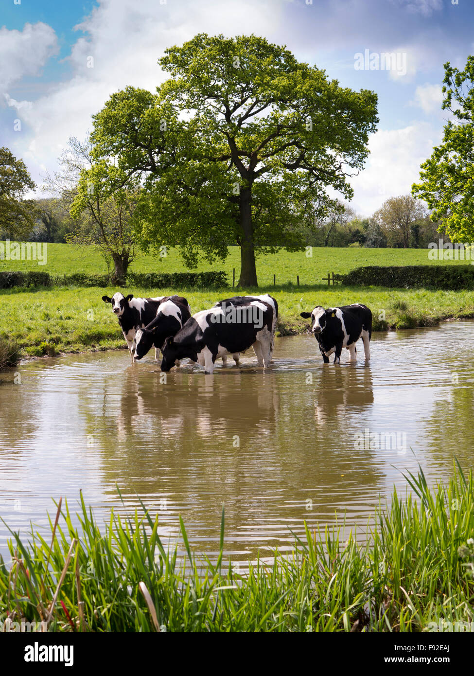 UK, England, Cheshire, Astbury, Fresian dairy cattle cooling off in Macclesfield Canal during hot weather - Stock Image
