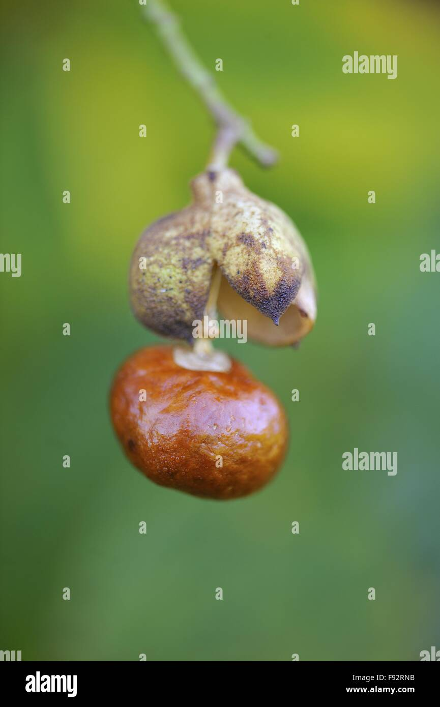 California buckeye - California horse-chestnut (Aesculus californica) native to California and Oregon - in fruit - Stock Image