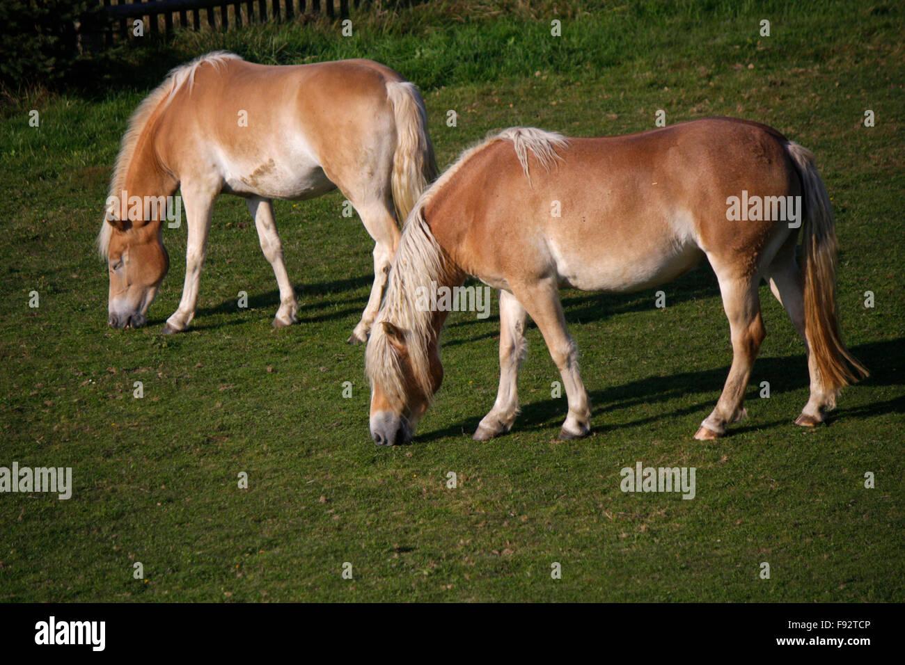 Pferde, Saechsische Schweiz. - Stock Image