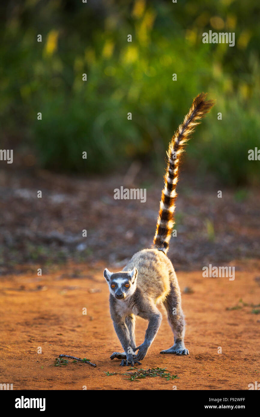A Ring-tailed lemur in the Berenty Reserve, Madagascar. - Stock Image