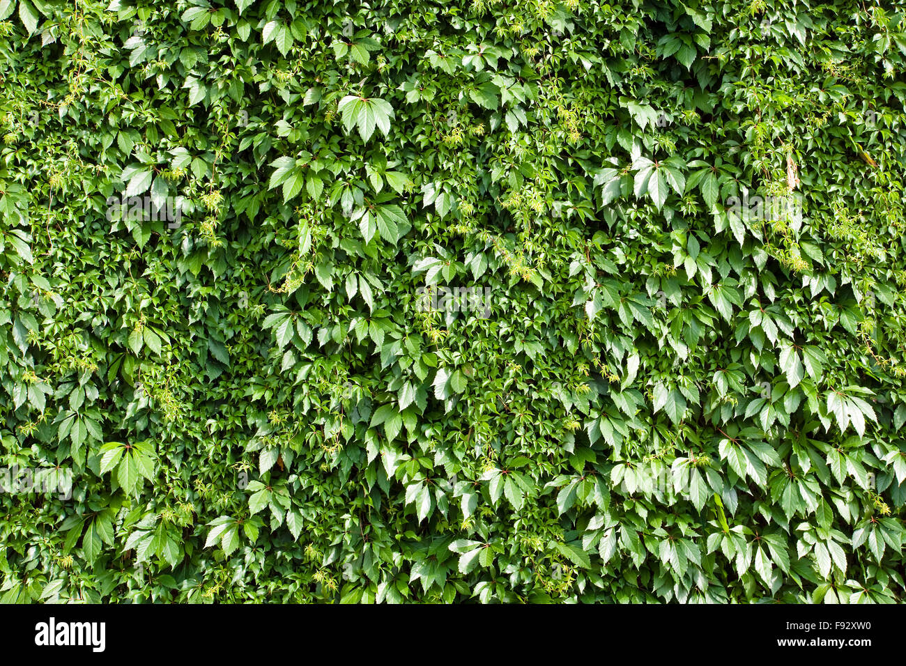 A green background from a hedge Stock Photo