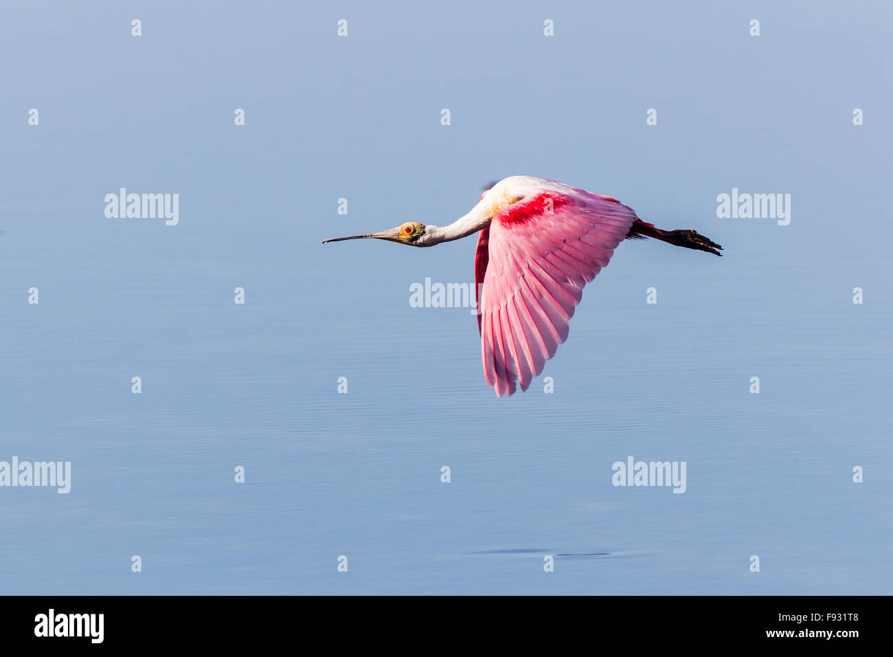 Roseate Spoonbill (Ajaia ajaja), Ding Darling National Wildlife Refuge, Sanibel Island, Florida, USA - Stock Image