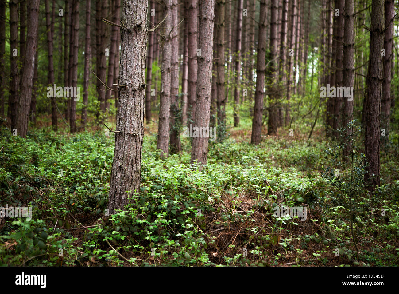 Light picks out a tree and small clearing in dense conifer woodland at Bixley Woods, Beckley, Rye, East Sussex, - Stock Image