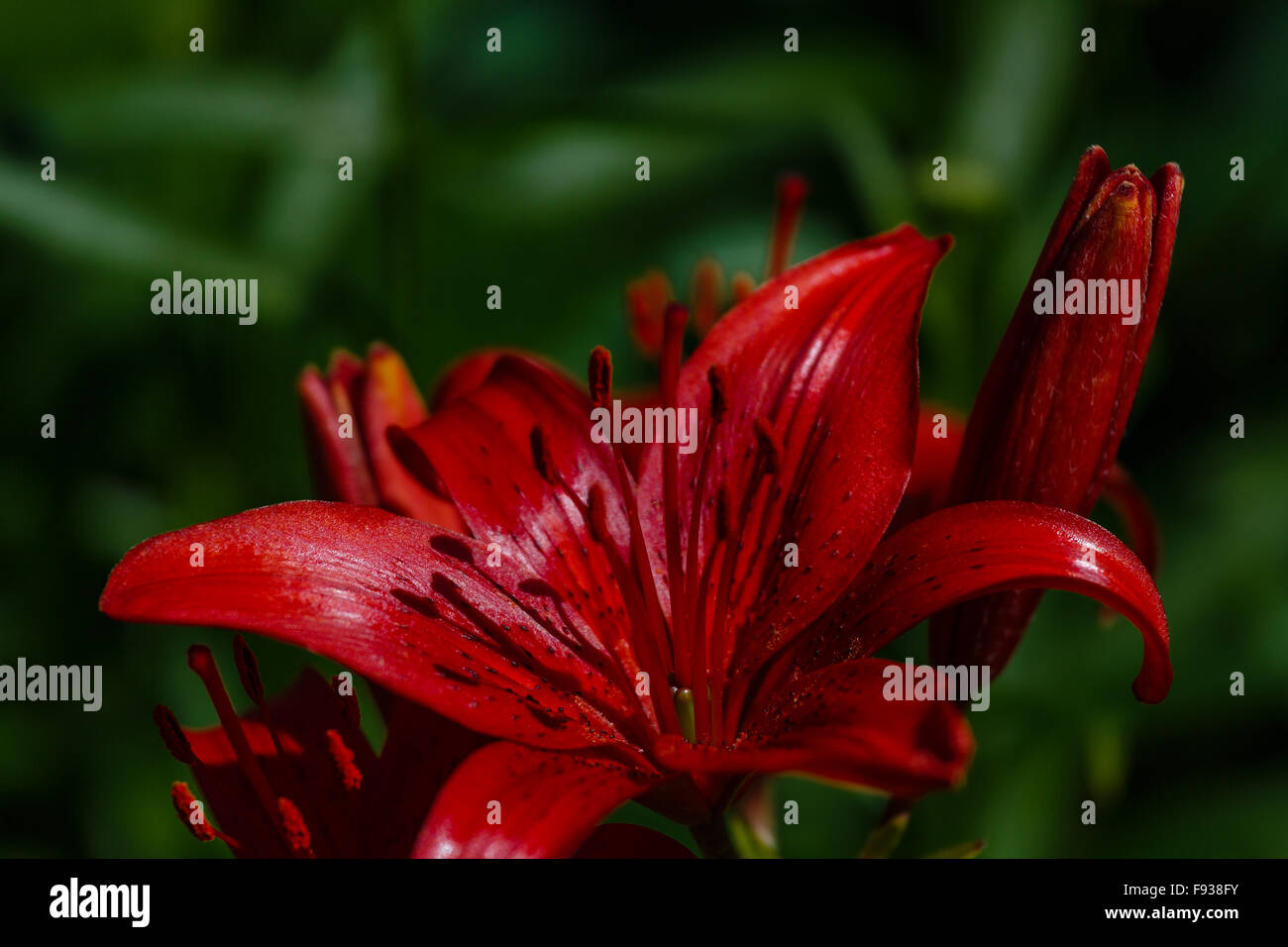 Darkly red lily on a deep green background - Stock Image