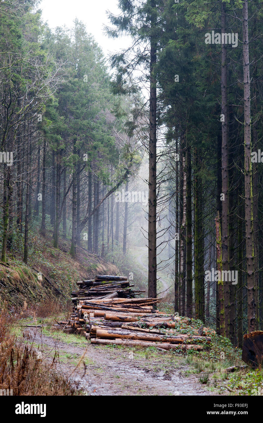 Cwm Ffynnone pine woodland - Stock Image
