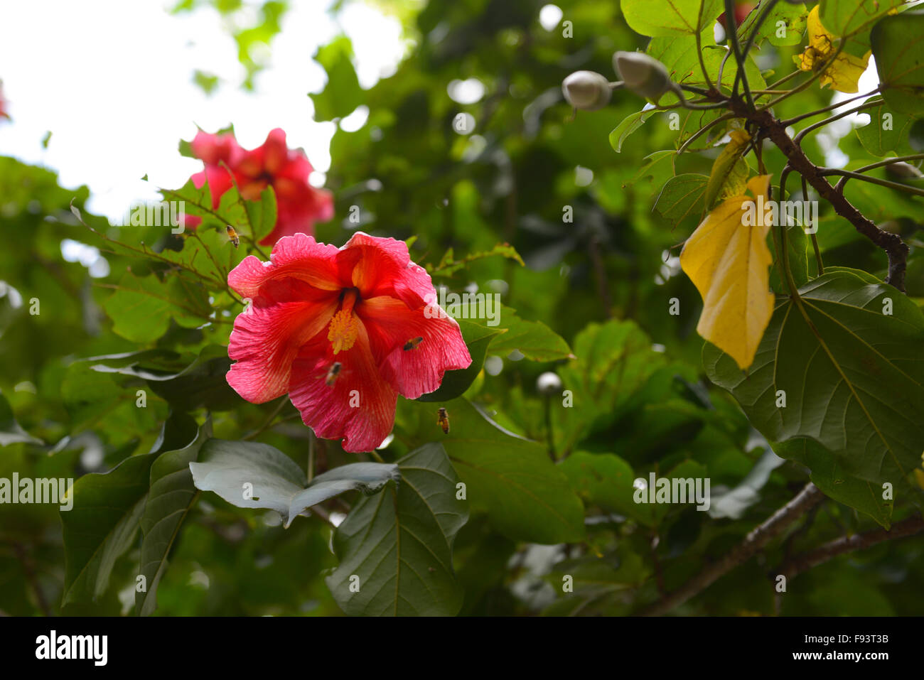 Two Bees Pollinating A Hibiscus Malvaceae Flower Ponce Puerto
