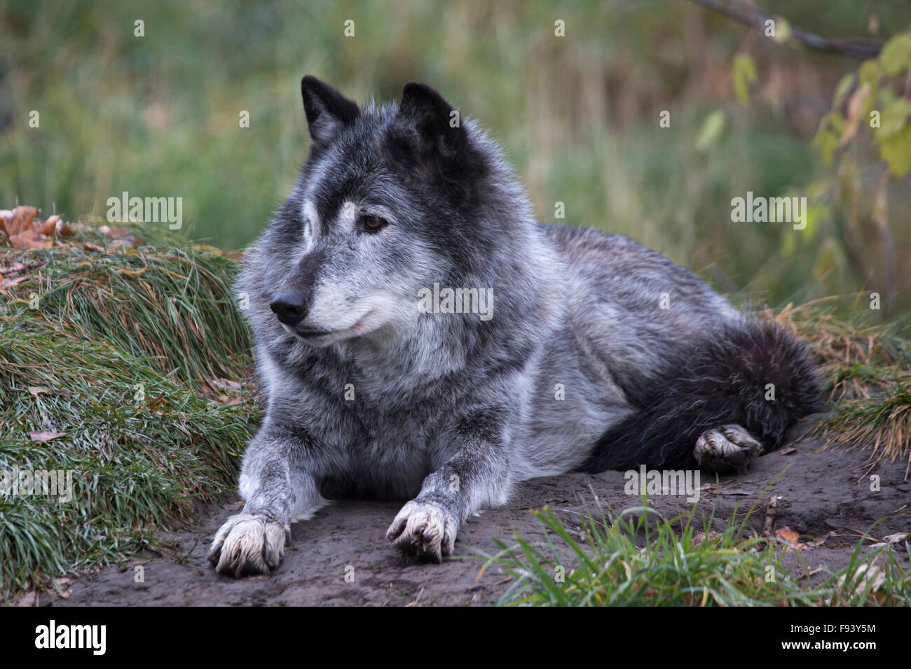 Grey wolf (Canis lupus) in Canadian Wilds zoo exhibit Stock Photo