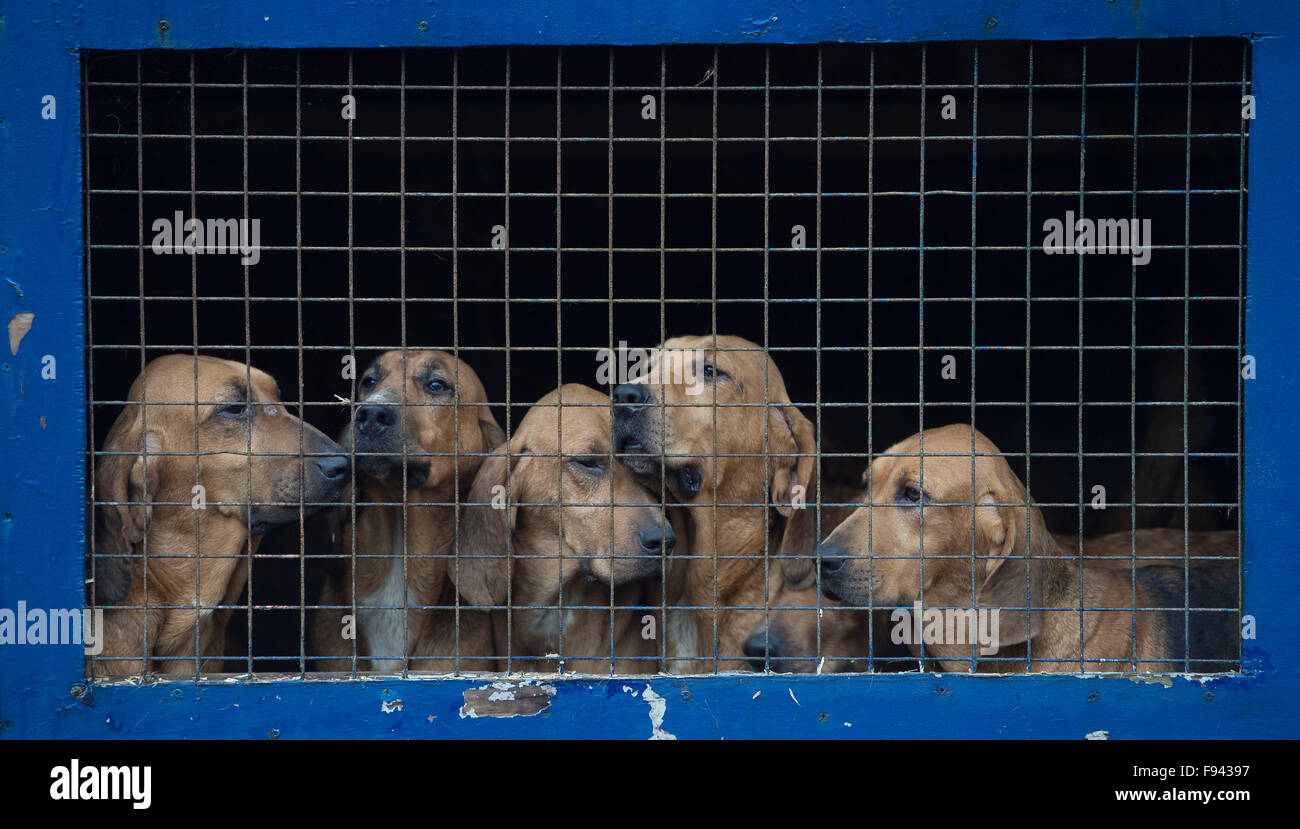 Caged fox hounds ahead of a fox hunting session in the country. - Stock Image