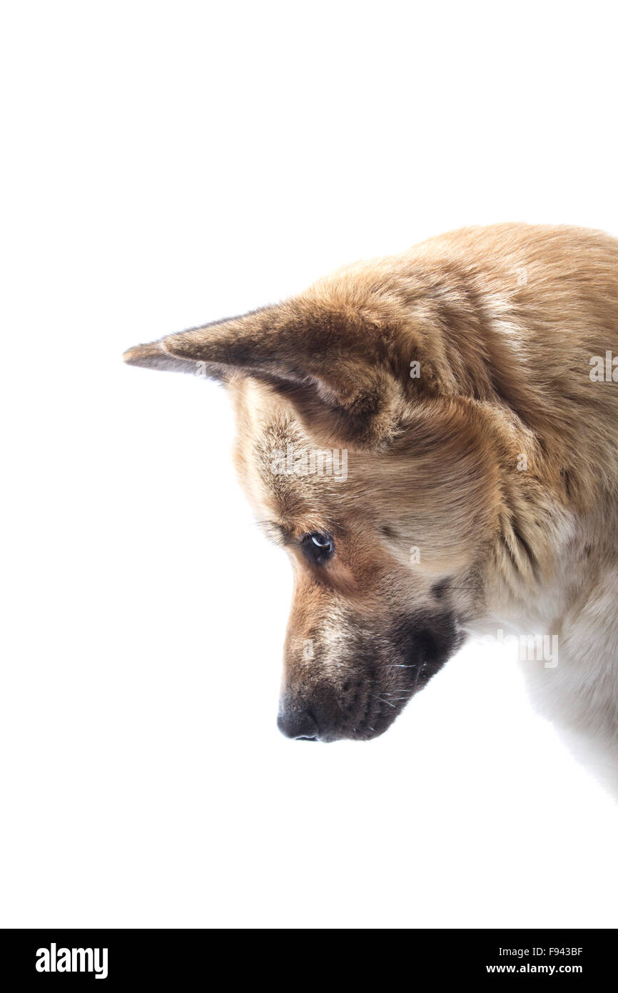 WALES, UNITED KINGDOM. 05 DECEMBER 2015. A husky X akita dog looks down with his ears pricked on a white studio Stock Photo